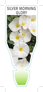 Picture of CONVOLVULUS CNEORUM SILVER MORNING GLORY
