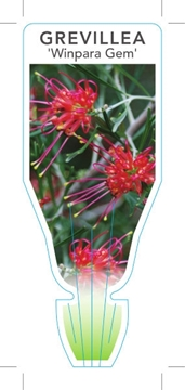 Picture of GREVILLEA WINPARA GEM