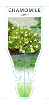 Picture of **HERB CHAMOMILE LAWN (Chamaemelum nobile)