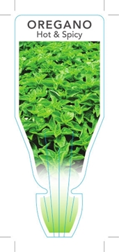 Picture of **HERB OREGANO HOT & SPICY (Origanum sp.)