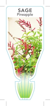 Picture of **HERB SAGE PINEAPPLE (Salvia elegans)