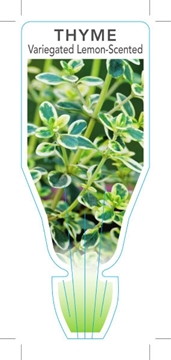 Picture of **HERB THYME VARIEGATED LEMON SCENTED (Thymus x citriodorus)