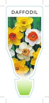 Picture of **BULB DAFFODIL