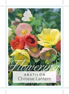 Picture of **ABUTILON CHINESE LANTERN