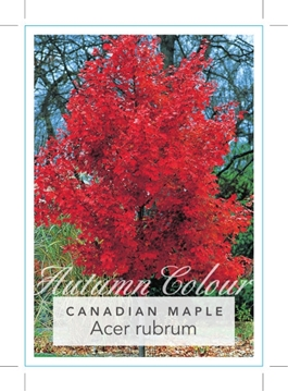 Picture of ACER RUBRUM RED OR CANADIAN MAPLE