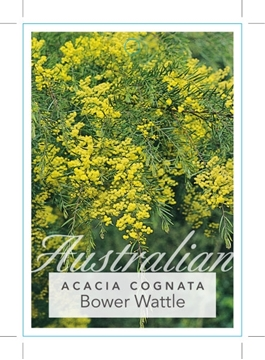 Picture of ACACIA COGNATA BOWER OR RIVER WATTLE