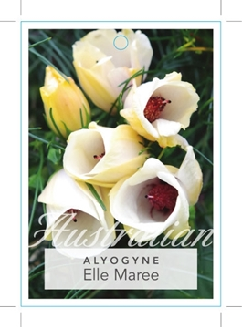 Picture of ALYOGYNE HAKEIFOLIA ELLE MAREE