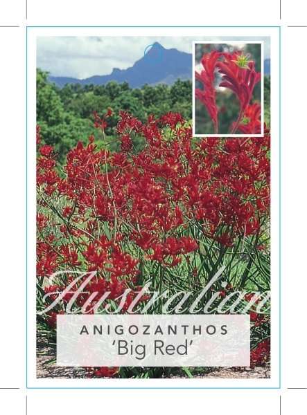 Picture of **ANIGOZANTHOS BIG RED