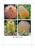 Picture of **BANKSIA MIXED PICTURE (UNNAMED VARIETY)