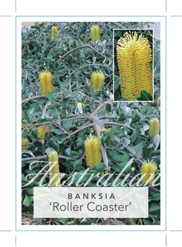 Picture of **BANKSIA INTEGRIFOLIA ROLLER COASTER PROSTRATE