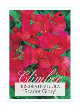 Picture of BOUGAINVILLEA SCARLET GLORY