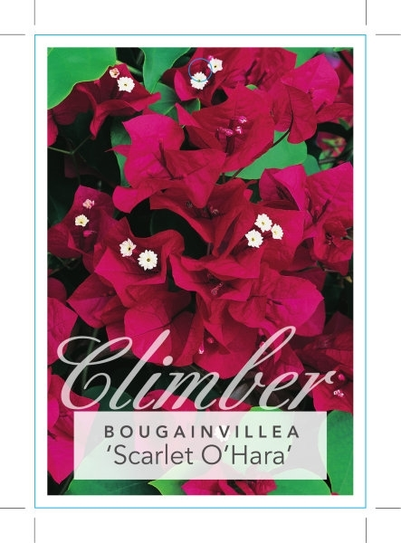 Picture of **BOUGAINVILLEA SCARLET OHARA