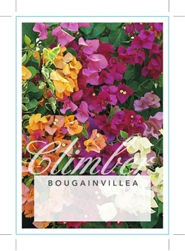 Picture of BOUGAINVILLEA - MIXED PICTURE (UNNAMED VARIETY)