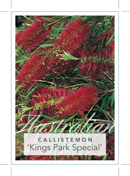 Picture of CALLISTEMON KINGS PARK SPECIAL