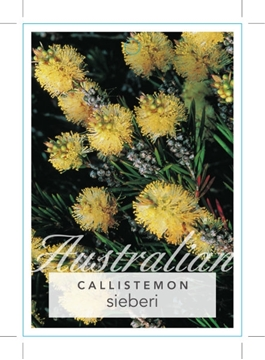 Picture of **CALLISTEMON SIEBERI RIVER BOTTLEBRUSH