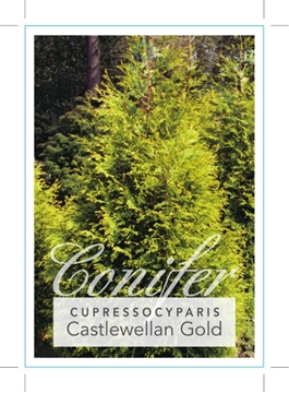 Picture of CONIFER CUPRESSOCYPARIS LEYLANDII CASTLEWELLAN GOLD