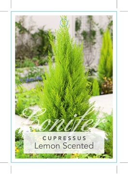 Picture of CONIFER CUPRESSUS MACROCARPA LEMON SCENTED