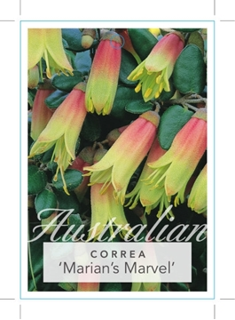 Picture of CORREA MARIANS MARVEL