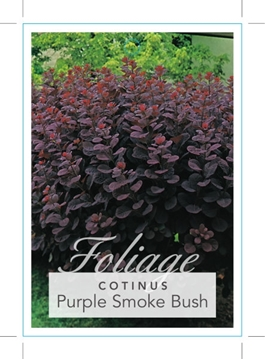 Picture of COTINUS COGGYGRIA ROYAL PURPLE