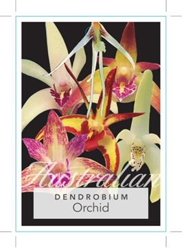 Picture of **HOUSEPLANT DENDROBIUM ORCHID AUSTRALIAN NATIVE