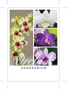 Picture of **HOUSEPLANT DENDROBIUM ORCHID