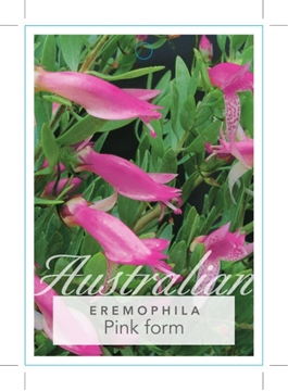 Picture of EREMOPHILA MACULATA PINK FORM