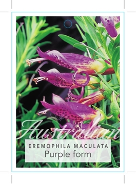 Picture of EREMOPHILA MACULATA PURPLE FORM
