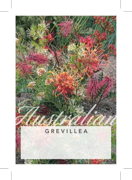 Picture of GREVILLEA (UNNAMED VARIETY)