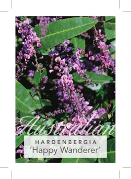 Picture of **HARDENBERGIA VIOLACEA HAPPY WANDERER