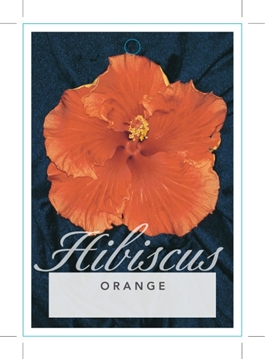 Picture of **HIBISCUS SINGLE ORANGE (UNNAMED VARIETY)