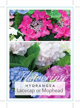Picture of **HYDRANGEA MACROPHYLLA LACECAP OR MOPHEAD - MIXED PICTURE