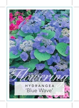Picture of **HYDRANGEA MACROPHYLLA BLUE WAVE