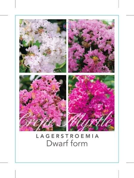 Picture of LAGERSTROEMIA INDICA DWARF FORM CREPE MYRTLE