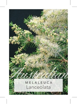 Picture of **MELALEUCA LANCEOLATA