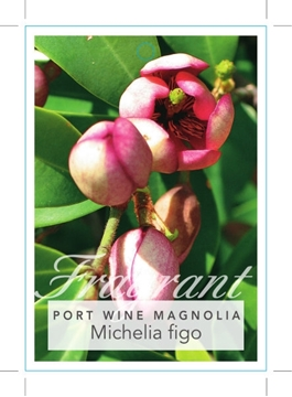 Picture of **MICHELIA FIGO PORT WINE MAGNOLIA