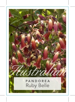 Picture of **PANDOREA PANDORANA RUBY BELLE