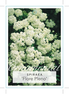 Picture of **SPIRAEA CANTONIENSIS FLORE PLENO DOUBLE WHITE