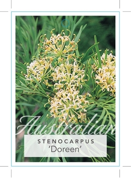 Picture of **STENOCARPUS DOREEN