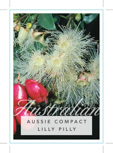Picture of **SYZYGIUM AUSTRALE AUSSIE COMPACT LILLY PILLY
