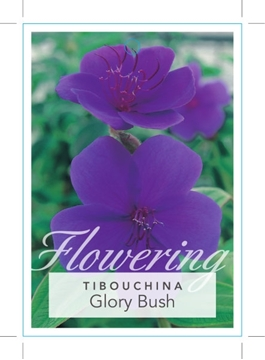 Picture of **TIBOUCHINA URVILLEANA GLORY BUSH