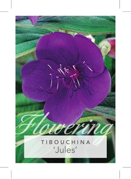 Picture of **TIBOUCHINA JULES