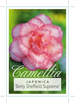 Picture of **CAMELLIA BETTY SHEFFIELD SUPREME
