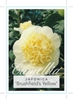Picture of **CAMELLIA BRUSHFIELDS YELLOW