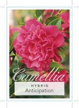 Picture of **CAMELLIA ANTICIPATION