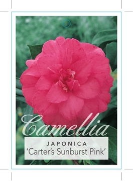 Picture of **CAMELLIA CARTERS SUNBURST PINK