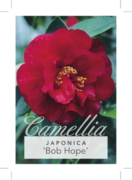 Picture of **CAMELLIA BOB HOPE