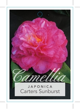 Picture of **CAMELLIA CARTERS SUNBURST