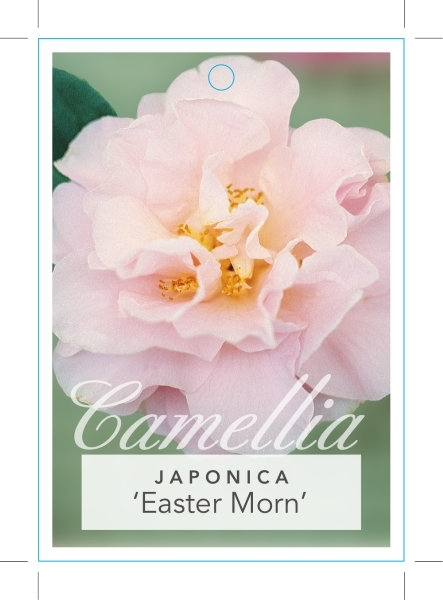 Picture of **CAMELLIA EASTER MORN