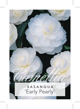 Picture of **CAMELLIA EARLY PEARLY