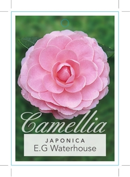 Picture of **CAMELLIA E G WATERHOUSE